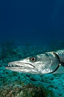 Close_up of Great barracuda.