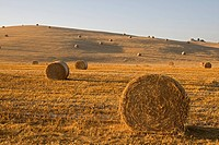Italy, Tuscany, Corn field with bales of straw