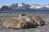 South Georgia, Elephant seals resting on shore