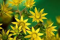 Yellow Stonecrop/ Sedum Acre flowers, Succulent plant