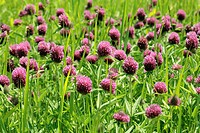 Pink clover flowers growing in the field
