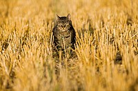 Cat walking across harvested field