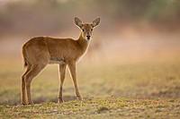Africa, Sambia, Puku Kobus vardonii