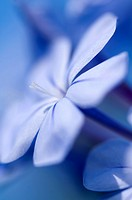 Cape Leadwort Plumbago auriculata, close_up