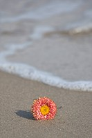 Single blossom on shore, close up