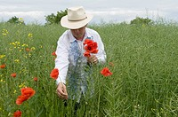Man picking poppy Papaver sp