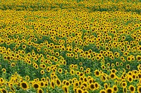 Italy, Tuscany, Sunflower field, full frame