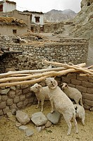 Stable of sheep Alchi, Ladakh, India