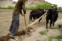 A farmer plowing a field with a team of Yaks Tiksey, Ladakh, India