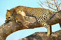 South Africa. Kruger National Park. Leopard resting with her kill on tree