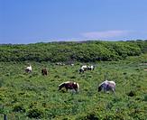 Hoppo primeval flower garden, Horse, Animal, Nemuro, Hokkaido, Japan