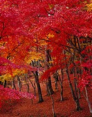 maple woods, Shuzenji Wildlife Park, Izu, Nakaizu, Izu peninsula, Shizuoka, Japan
