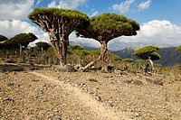 Dragon blood tree, Dracaena cinnabari, Homhil Plat