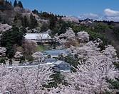 cherry blossoms, Kazumigajo castle Park, Nihommatsu, Fukushima, Japan