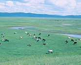 river, cow pasturing, Horombail meadow, Inner Mongolia, China