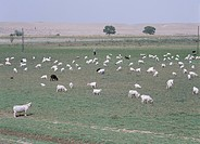 sheep, pasturing, Niya Minfong suburbs, Xinjiang Uygur Autonomous Region, China, Asia
