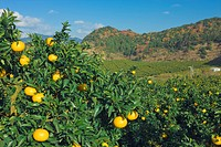 Mandarin orange field, Sun fruit, farm village, Mihama town, Mie, Kinki, Japan, December