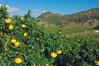 Mandarin orange field, Sun fruit, farm village, Mihama town, Mie, Kinki, Japan, December
