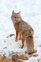 swift fox _ standing in snow