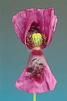 Opium Poppy, Papaver somniferum v. nigrum