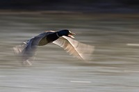 Male Mallard flying, Anas platyrhynchos