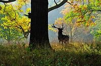 Deer, Favorite Park, Ludwigsburg, Baden_Wurttemberg, Germany, Europe