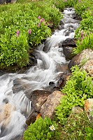 Stream through wildflowers, Mineral Basin, Uncompahgre National Forest, Colorado, United States of America, North America