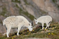 Mountain goat Oreamnos americanus nanny and billy, Mount Evans, Colorado, United States of America, North America