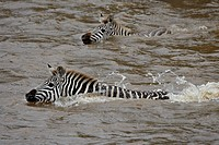Common zebra Burchell´s zebra Equus burchelli crossing the Mara River, Masai Mara National Reserve, Kenya, East Africa, Africa