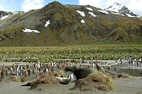 geography / travel, Great Britain, South Georgia, Cold Harbour, two seal elephants in front of a colony of king penguins, British, South Atlantic, pen...