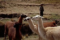 geography / travel, Peru, landscape / landscapes, terraces with child and llama, near Pisac, 1964, historic, historical, South America, 20th century, ...