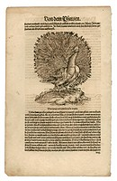 zoology / animals, textbooks, Historia animalium, by Conrad Gessner, Zurich, Switzerland, 1551 _ 1558, peafowl Pavo, woodcut, historic, historical, 16...