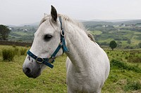 A white horse in a green rolling pasture, Donegal, Ireland