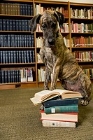 Great Dane looking at an open book