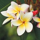 Frangipani flowers, close_up