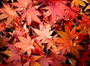 Japanese Maple leaves, autumn