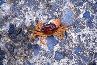 Crab on stones