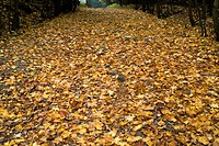 Fallen autumn leaves on ground