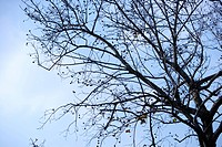 Close_up of bare branch, in Japan