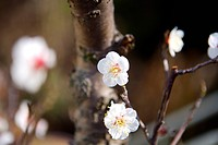 Close_up of part of plums blossom