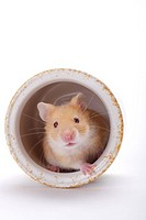 Hamster in porcelain jar