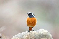 Bird standing on rock, front view