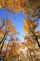 View of sugar maple trees in fall, Bas_Saint_Laurent region, Quebec.