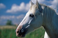 Pferdeporträt, Camargue _ Portrait of horse, Camargue