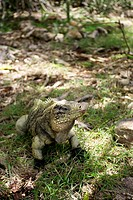 Iguana crawling on ground, Camagüey, Cuba