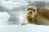 Bearded Seal Erignathus barbatus resting on a pack of ice, Spitsbergen