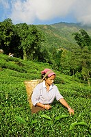 India, West Bengal, Kurseong, Goomtee Tea Estate, Woman tea picking