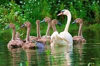 Hoeckerschwan Cygnus olor mit Jungen auf einem Teich / mute swan Cygnus olor with chicks on a pond
