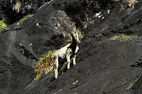 SURE FOOTED NILGIRI TAHR IN RAJAMALAI ROCKS, MUNNAR