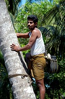TODDY TAPPER ON COCONUT TREE, KUMBALANGHI MODEL TOURISM VILLAGE NEAR KOCHI